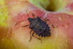 Brown marmorated stink bug adult on apple