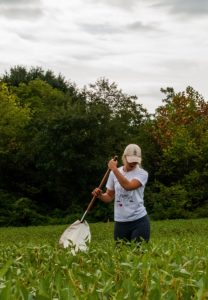 Person using insect sweep net in soybean field in Cleveland County, North Carolina.