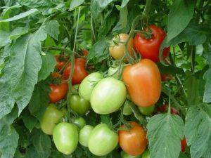 NC EBR-3 tomatoes