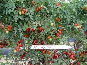 NC 1 grape tomatoes