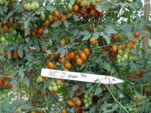 NC2 grape tomatoes