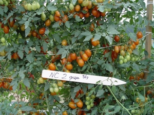 NC2 grape tomatoes