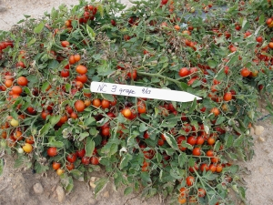 NC3 grape tomatoes