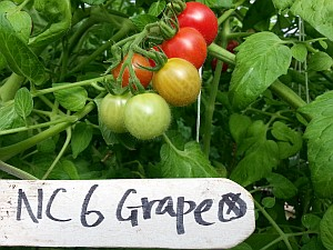 NC 6 grape tomatoes