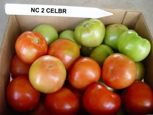 NC 2 CELBR tomatoes
