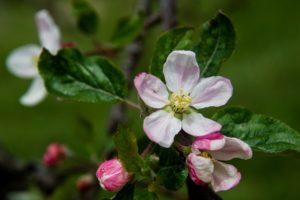 Cover photo for Western NC Orchard Insect Populations - April 3, 2018