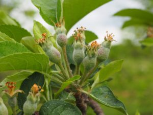 Cover photo for Thinning Alert: Apple Thinning Responses May Be Aggressive