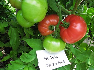 NC 161L grape tomatoes