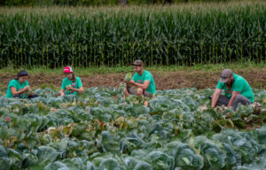Researchers evaluating insect damage in a cabbage field, Mountain Horticultural Crops Research Station