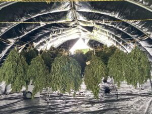hemp hanging to dry