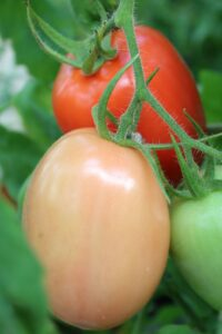 2019 GH tomato