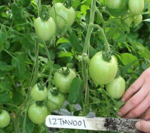 NC 1 Plum tomato