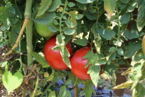 NC 3 LF tomato