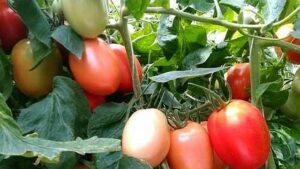 NC 3 Plum tomato