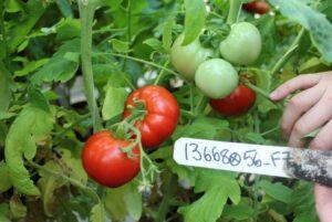 NC 4 LF tomato