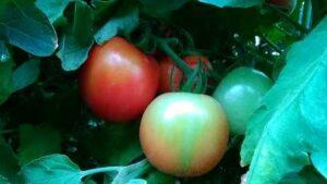 NC 5 Plum tomato