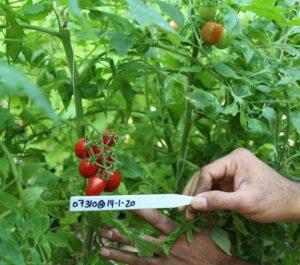 NC 7 Grape tomato