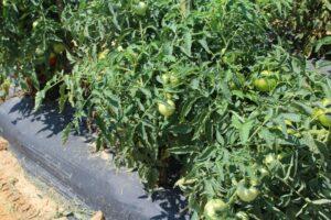 NC 7 LF tomato