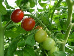 NC8 Grape tomato