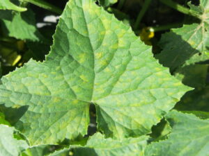 Cover photo for Cucurbit Downy Mildew Confirmed in Western NC, July 28, 2021